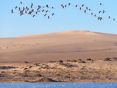 P1108013-LR (carlo) Tags: panasonic g9 dmcg9 africa africanlandscape namibia lüderitz coast desert flamingos