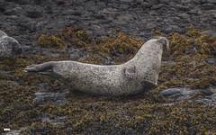 And Stretch.... (davidrhall1234) Tags: commonsealphocavitulina seal animal oban kerrera scotland coastal coast mammal marine nature nikon outdoors shore shoreline sea wildlife world