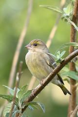 Verdier d'Europe ♀ - Carduelis chloris (Fabrice Cadillon) Tags: verdierdeurope carduelischloris nature wildlife nikon 2018 oiseau bird