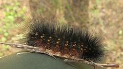 Salt Marsh Moth, Estigmene acrea, caterpillar, Tosohatchee WMA, Christmas, FL (Seth Ausubel) Tags: moth caterpillar erebidae arctiinae