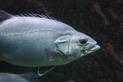 Big Fish (philippe.ducloux) Tags: france finistère bretagne brittany canon 450d canon450d strictlygeotagged flickraward mywinners océanopolis brest poisson fish aquarium bigfish