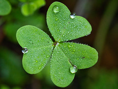Watery Clover (Chaudiere J) Tags: dew clover trevo drops water agua goticulas orvalho