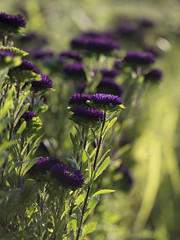 Les reines marguerites ***-- ° (Titole) Tags: reinemarguerite chinaaster asterdechine purple shallowdof titole nicolefaton bokeh thechallengefactory