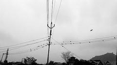 Not a flock of sheep! #birds #wiresculpture #congestion #junctionproduce Photo: @sidiq_saima (khurshidahanger) Tags: ifttt instagram not flock sheep birds wiresculpture congestion junctionproduce photo sidiqsaima