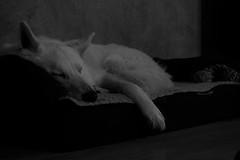 Müder Krieger (ISOZPHOTO) Tags: filou isoz isozphoto dog hund whitedog whitegermanshepherd whiteshepherd 2018 oly olympus zuiko epl3 1442 great beautiful gorgeous monochrome blackwhite blackandwhite whiteanimal shepherd schäferhund weiserhund weisserschäferhund swissshepherd schweizerschäferhund pen lite m43 microfourthirds micro43 dslm spiegellos mirrorless chien chiot perro cane sobaka inu cão mutt hond hundar witteherder meinhund mydog fellnase haustier pet オリンパス ズイコー zuikō gǒu karlos white