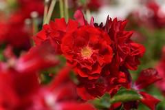 Rose 'Mainaufeuer' raised in German (naruo0720) Tags: rose germanrose mainaufeuer germanrosescollection バラ ドイツのバラ マイナーフェアー ドイツのバラコレクション sigmalenses nikonscamera d810 sigma105mmf28exdgoshsm