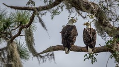 No problem telling the female from the male here...and it has nothing to do with an open beak! (flintframer) Tags: bald eagle breeding pair raptors birds florida color wow nature wildlife roosting silver glen lake george juniper club dattilo canon eos 7d markii ef600mm
