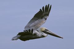 Pelican bird  Hampton Va. (watts_photos) Tags: pelican bird hampton va birds nature wild wildlife virginia flight wing wings bif fly flying