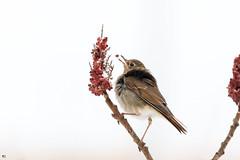 ''Le délice!'' Grice solitaire-Hermit thrush (pascaleforest) Tags: oiseau bird animal passion nikon nature wild wildlife faune québec canada automne