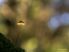 La luz (morlokiano) Tags: setas mushrooms musgo bosque campo naturaleza verde bokeh desenfoque nikkor55mmf35microai