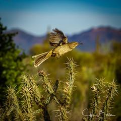Bird taking flight from cactus (Jeffrey Balfus (thx for 3.3 Million views)) Tags: golfing bird sonya7m2 sonyilcea7m2 sonyemount mirrorless fullframe sonyalpha sonya7ii 90mm f28 macro g oss prime lens sel90m28g