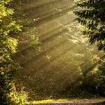 Lightbeams through forest thumbnail
