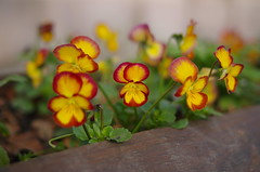 Surviving pansies (Baubec Izzet) Tags: baubecizzet pentax bokeh flower nature