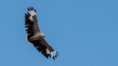 025.2 Palmgier (dirkvanmourik) Tags: aves bird gypohieraxangolensis kisakitanzania oiseaux palmnutvulture palmgier rondreistanzania2005 selousgamereserve vogel wildreservaatselous