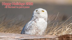 Happy Holidays (Tony Varela Photography) Tags: snowyowl buboscandiacus owl canon photographertonyvarela happyholidays2018 happyholidays