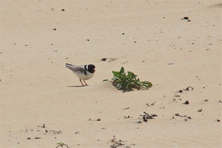 Hooded Plover, Lake Tabourie, NSW