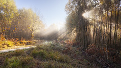 Solar Forest (snomanda) Tags: crepuscular light sunshine sun sunrise morning daybreak fog mist misty rays sunray forest wood park path track trail countryside rural country uk england sussex buchan woodland trees landscape sunbeam