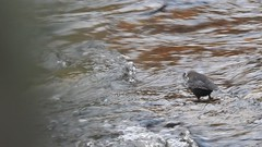 dipper (BSCG (Badenoch and Strathspey Conservation Group)) Tags: bird fdon cnp cinclus river freshwater swimming feeding december di diving