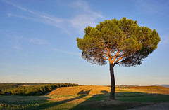 Pinienbaum (Körnchen59) Tags: pinienbaum pinetree toskana italien italy lichtundschatten feld landscape sony 6000 körnchen59 elke körner