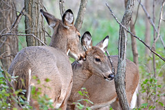 A Mother's Love (NaturalLight) Tags: whitetail deer doe fawn grooming nature outdoors chisholmcreekpark wichita kansas