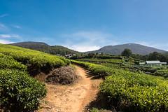 Tea Plantation-3 (Dan Fawcett) Tags: tea plantation