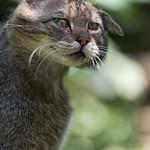 Wildcat shaking thumbnail
