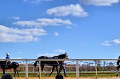 2018-11-03 (39) r7 #10 Shecor (JLeeFleenor) Tags: photos photography md marylandracing maryland marylandhorseracing laurelpark outside outdoors clouds horses thoroughbreds equine equestrian cheval cavalo cavallo cavall caballo pferd paard perd hevonen hest hestur cal kon konj beygir capall ceffyl cuddy yarraman faras alogo soos kuda uma pfeerd koin حصان кон 马 häst άλογο סוס घोड़ा 馬 koń лошадь
