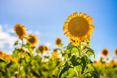 Sunflowers (tony.liu.photography) Tags: sunflowers flowers landscape 50mm nature sun queensland australia canon 5d4 sigma art