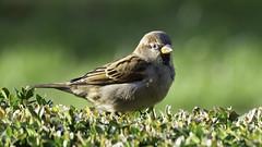 little sparrow (norbert.wegner) Tags: