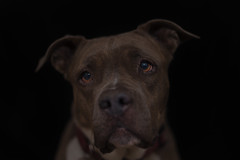 Molly (Cruzin Canines Photography) Tags: animal animals canon canoneos5ds canon5ds canine 5ds eos5ds dog dogs pet pets pitbull pit pitbullterrier terrier americanpitbullterrier molly cute lowkey portrait colorado coloradosprings