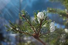 Cold and warm (LB1415) Tags: light rays lensflare winter december ice white snow bokeh pine tree closeup pentax k200d rawtherapee dof nature outdoor lb1415 allrightsreserved green conifer sunlight interesting led sneg zima