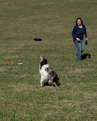 SZP_1335_pslr5 (Lakeside Annie) Tags: 11102018 2018 20181110 24120mm 24120mmf40 70300mm 70300mmf4556 d750 fall huntersville huntersvillenc leannefzaras nc nikkor nikkor24120mmf40 nikkor70300mmf4556 nikkorlens nikon nikond750 northcarolina november10 ruralhill sarazphotography saturday sheepdog sheepherdingtrials dog dogfestival frisbee frisbeedog shepherd trick trickdog