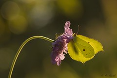 Jaune citron (gael611) Tags: papillon butterfly farfalle citron nature natur proxy macro insecte bug insekt