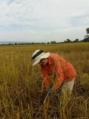 Rice Harvest 17 (SierraSunrise) Tags: agriculture esarn farming harvest isaan manual nongkhai paddy paddyrice phonphisai rice ricepaddies ricepaddy thailand