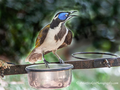 Blue-faced Honeyeater (Peter.Stokes) Tags: birds bush native nature australia australian colour colourphotography trees forest bird flight flying sky fly photo outdoors spring bluefacedhoneyeater blue faced honeyeater