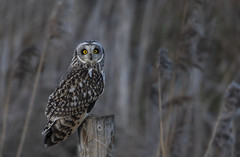 Short-eared Owl (Ann and Chris) Tags: shortearedowl owl post looking beautiful nature wildlife wild animal bird raptor