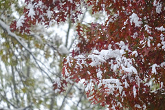 Cloudy Autumn Red And Snow (Modkuse) Tags: velvia fujifilmxt2velvia fujifilmxt2velviasimulation autumn fall fallcolors snow earlysnow nature natural leaves autumnleaves oak oakleaves fujifilm fujifilmxt2 xt2 xf55200mmf3548rlmois fujinon fujinonxf55200mmf3548rlmois art artphotography photoart fineartphotography fineart