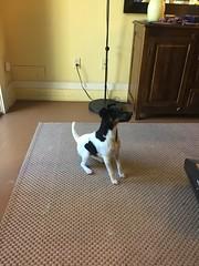 Brax (Vegan Feast Catering) Tags: prt jump pup agility champion