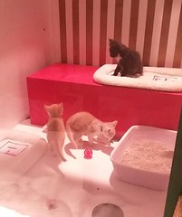 20181117_134110 (sftrajan) Tags: macys kittens cats gatos adoption sfcpca sanfrancisco 2018