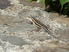 Trachylepis sp. (??) , ID needed, thanks (Linda DV) Tags: lindadevolder africa 2018 lumix travel geotagged nature kenya fauna baringo lake trachylepis reptilia