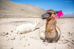 Lama (Enrico L. ) Tags: llama perù perú arequipa lama camelide animali altaquota canon eos canoneos5dmarkiii 5dmarkiii travelphoto travelling traveller aroundtheworld incontri
