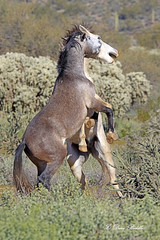 Blocking his way (littlebiddle) Tags: wildlife mammal animal horse equine arizona saltriver