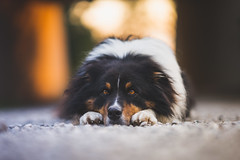Happy 6th Birthday, mate! (der_peste (on/off)) Tags: dog dof bokeh aussie australianshepherd blur