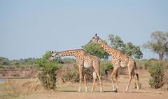 Thornicroft Giraffe (Tris Enticknap) Tags: thornicroftgiraffe giraffe masaigiraffe giraffacamelopardalis akarhodesiangiraffe southluangwa zambia giraffatippelsksirchi