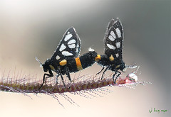 LOve (bug eye :) Thailand) Tags: butterflys moth love macro dew morning insect animals