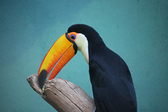 Toucan (Peter I. Fifield Photography) Tags: bronxzoo wildlifeconservationsociety bronx newyork