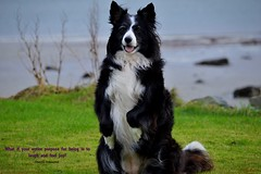 Asha Unleashed (ASHA THE BORDER COLLiE) Tags: ak asha unleashed inspirational quote border collie dog beach sitting prettty sea grass ashathestarofcountydown connie kells county down photography