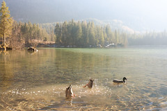 Enten am Hintersee (Obachi) Tags: berchtesgarden flickr hintersee enten