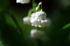 Lily of the Valley      Industar 58 u  75 mm F 3.5 (情事針寸II) Tags: マクロ撮影 自然 花 鈴蘭 russianenlargerlens bokeh macro nature fleur flower muguet lilyofthevalley industar58u75mmf35