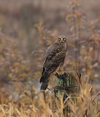 Female Northern Harrier (dennis_plank_nature_photography) Tags: avianphotography ridgefieldnwr birdphotography naturephotography ridgefield wa avian birds nature